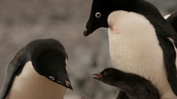 Antarctic penguin colony hit hard by sea ice