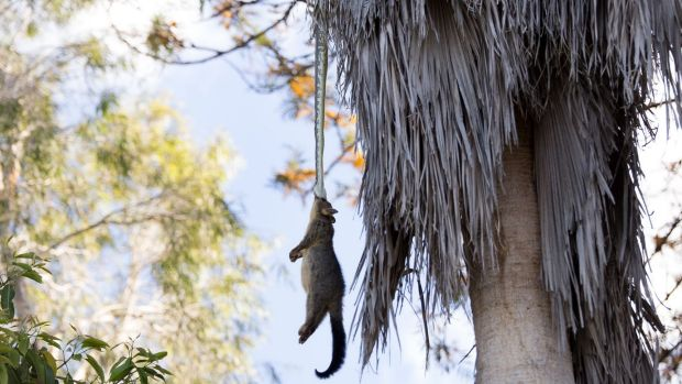 Snake lifts a dead possum into the tree canopy in a Tingalpa backyard on Sunday.