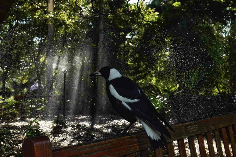 A magpie watched the plants being watered at the Royal Botanic Gardens Gardens ahead of a very warm Sydney day.