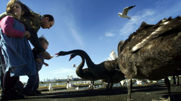 Victoria's black swans are losing their natural fear of humans.