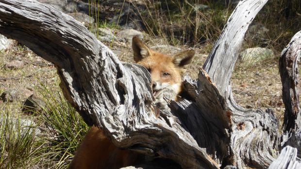 A fox takes cover in Queensland.