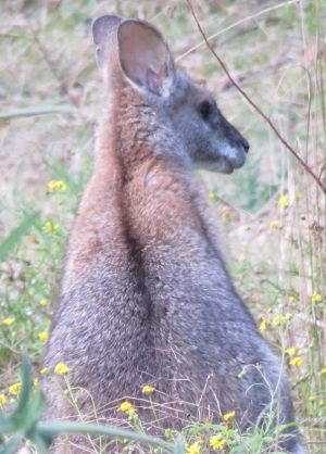 A lack-striped wallaby, one of the endangered species at risk from forest operations at Cherry Tree State Forest.