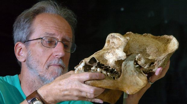 Colin Groves in his lab in 2007, holding a deformed skull of a male mountain gorilla found in Rawanda in 1971.