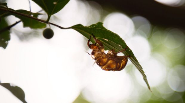 A cicada shell in a park outside a huge government apartment complex - known as danchi -  in Tokiwadaira, Japan in August.