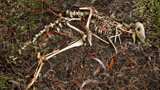 His name is Colin: the skeleton of an eastern grey kangaroo whose decay is being studied at La Trobe University's native ...