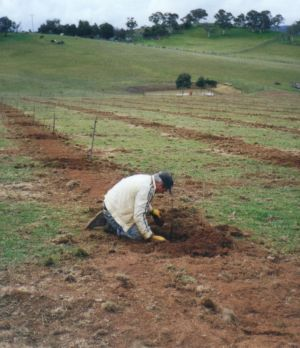 John Kane planting the first chestnut tree at TweenHills in 1997.