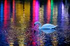 A white swan glides over a small pond where the lights of an illuminated building are reflected in a park in Frankfurt, ...