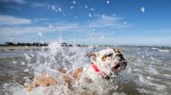Zina the bulldog pup beats the hot weather at Seaholme dog beach.