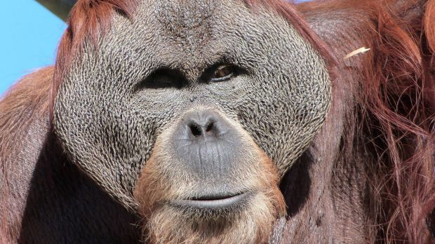 Perth Zoo is mourning the death of Sumatran orangutan Hsing Hsing over the weekend.