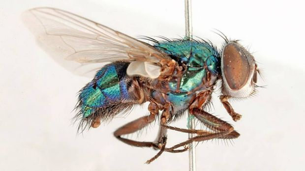 A pinned Australian sheep blowfly, Lucilia cuprina, from the Australian National Insect Collection at CSIRO Entomology.