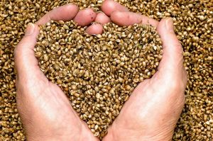 Hemp is highly nutritious, but many parents still have their doubts.