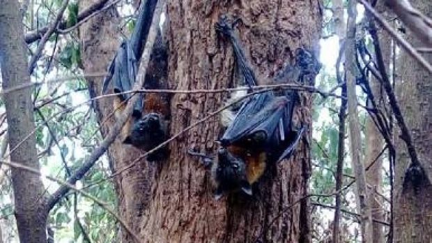 Some bats were left dangling from trees after Sunday's extreme heat.