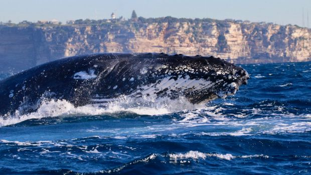 Waiting for a humpback whale to blow, off Sydney in June 2017.