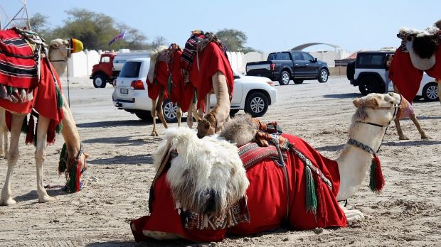 Camels in the desert outside Doha, Qatar.