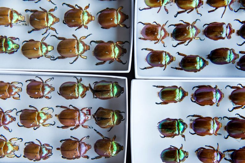 The Beetle collection at Australian Museum.