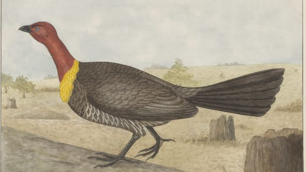 Illustration: The Brush Turkey (Alectura lathami) by Gostelow, E.E. (Ebenezer Edward), 1866-1944.