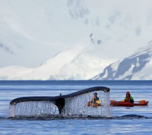 A humpback whale swims with kayakers.