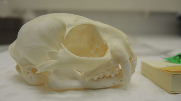 The Asian wildcat skull illegally possessed by Counsell.