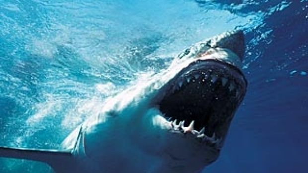 new research sheds light on wa s white shark population