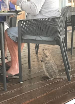 A quokka keeps an eye on a plate of food at the Rottnest pub.