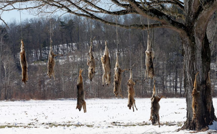 Coyote carcasses hang from branches on a tree in the middle of a field in West Augusta, Va. Prowling coyotes have long ...