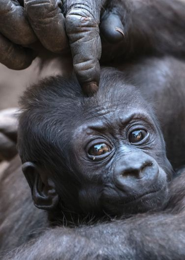 Baby gorilla Kio gets a head massage from his mother, Kumili, at the zoo in Leipzig, Germany, Wednesday, Feb. 7, 2018. ...