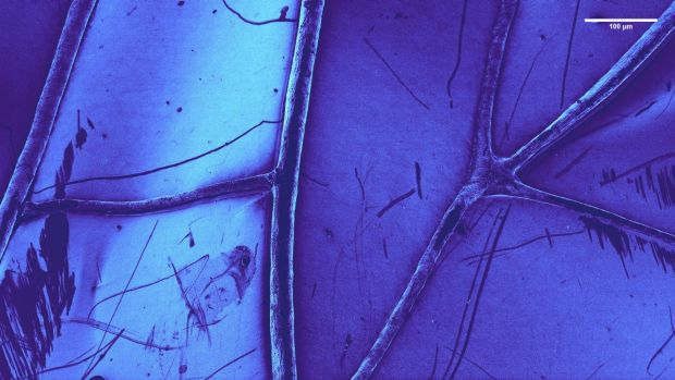 A dragonfly wing under the microscope.