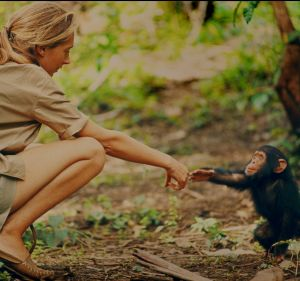 Jane Goodall and infant chimpanzee Flint in Gombe National Park, Tanzania, in the early 1960s. Sadly, Flint died only a ...