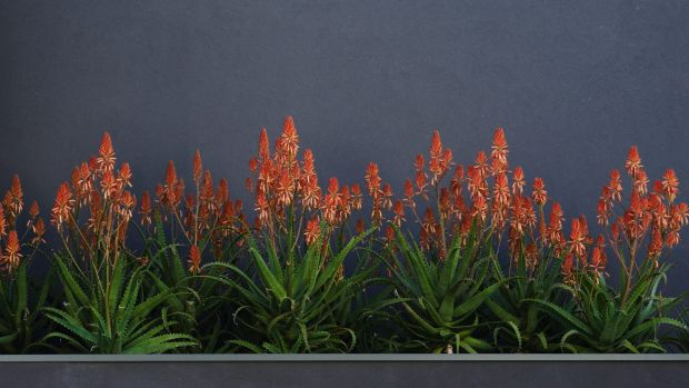 """The """"Copper Shower"""" variety grows to about a metre high.."""
