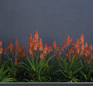 "The ""Copper Shower"" variety grows to about a metre high.."