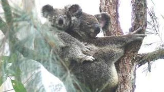 The NSW government is dragging out its koala strategy even as pressures on habitat grow.