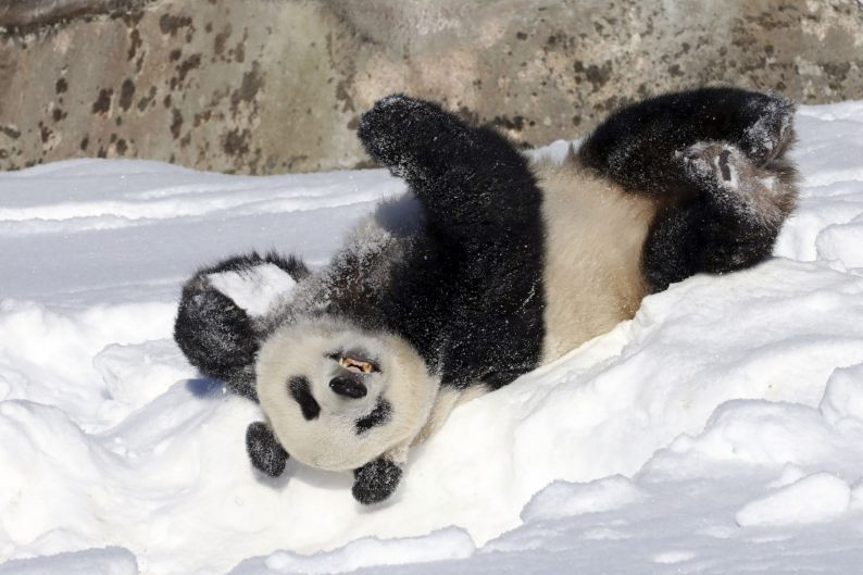 Male panda Hua Bao rolls in snow during the official opening of the Ahtari Zoo Snowpanda Resort in Ahtari, Finland.