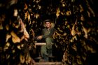 In this Feb. 27, 2018 photo, Roberto Armas Valdes poses with dry tobacco leaves in a warehouse at the Martinez tobacco ...