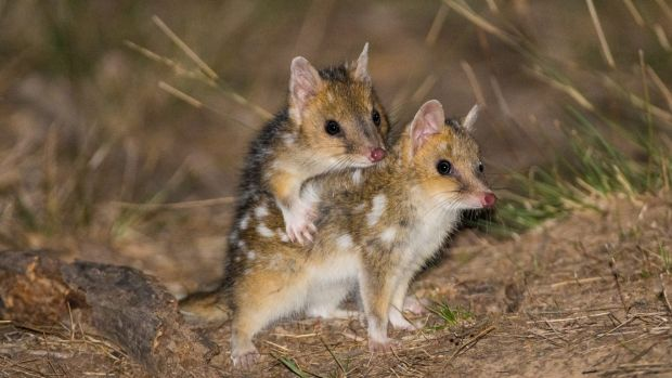 They might look like they are up to funny business but the Eastern Quoll babies are to young to mate.
