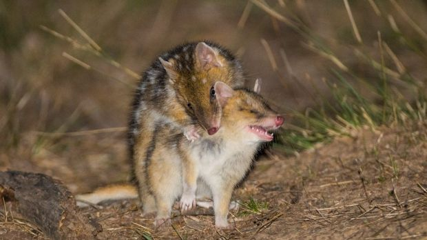 The baby Eastern Quolls practice hunting on each other.