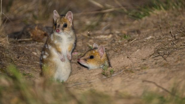 Two of the six sibling Eastern Quolls photographed at the Mulligans Flat Woodland Sanctuary in Canberra.