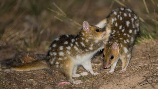 The baby Eastern Quolls frolicking at Mulligans Flat Woodland Sanctuary  in Canberra.