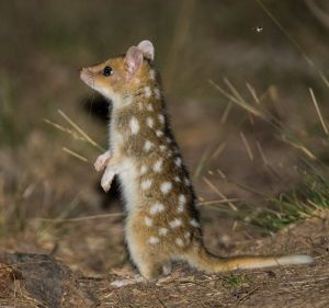The Eastern Quolls are thought to be three to four months old and will leave their den and mother in a matter of weeks ...