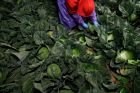 Farmworker Elias Solis, of Mexicali, Mexico, picks cabbage before dawn in a field outside of Calexico, California.