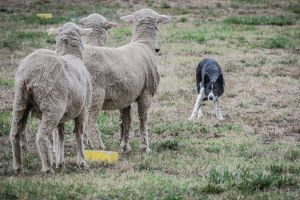 75th National Sheepdog Championship's held in Hall. P Charlie Cover's Queen at work.