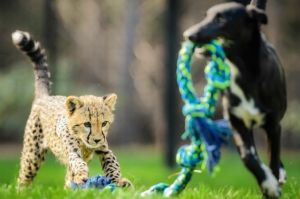 Sitthixay Ditthavong @wakeupsitt captured a four month old cheetah cub Solo plays with his canine friend Zama.