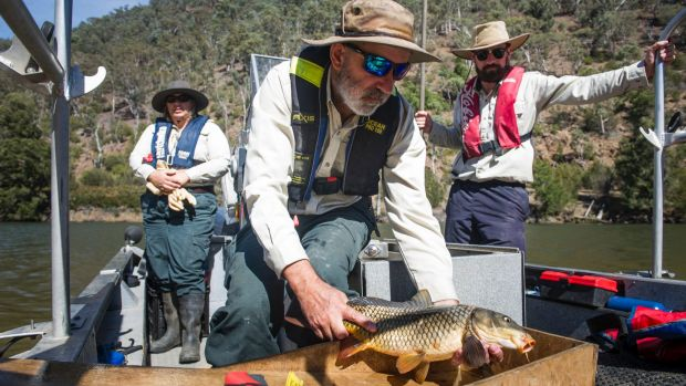 Aquatic ecologists Renee Barwata, Mark Jekabsons and Josh van Lier, who are using an electro-fishing boat to count carp.