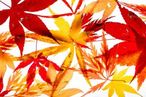 Selections of maple leaves.