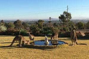 FEE APPLIES FOR ANY USAGE $$$$$$$$$$$$$$$$$$$$$$ Roos drink from a residential fountain in Gunnedah as the drought takes ...