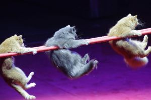 """Cats, of Russia, perform during a rehearsal of the new """"Circuses of the World"""" show in the Belarusian State Circus in ..."""