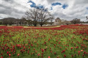 Installation of 62,000 hand-crafted poppies on the grounds of the Australian war memorial's sculpture garden to mark ...