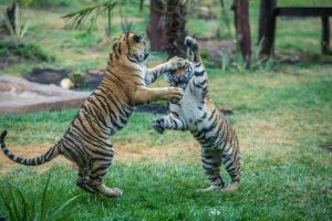 Dreamworld's beloved eight month old tiger cubs Melati and Mya have moved to the National zoo and aquarium. Photo by ...