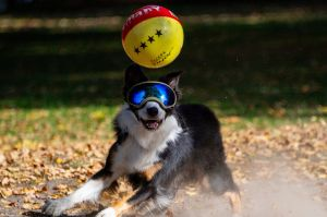 The eyes of the dog 'Pepper' are protected by sun glasses against exessive sunlight as it plays with a ball in Hamburg, ...
