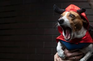 Rocky the miniture fox terrier gets into character at a dog Halloween event at the Beresford hotel in Surry Hills, ...