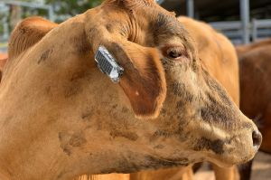 Ceres Tag has developed a Fitbit like device to get cows moo-ving.